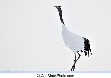 Red-Crowned Crane walking in snow.