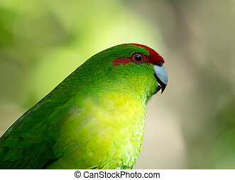 Red Crowned Green Parakeet, New Zealand