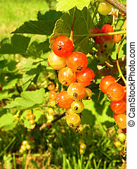 Red currant berries on a branch of a bush.