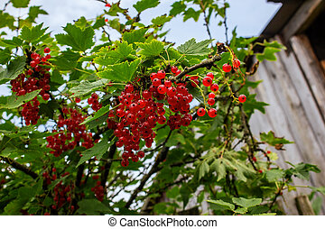 Red currant berries on a branch with green leaves