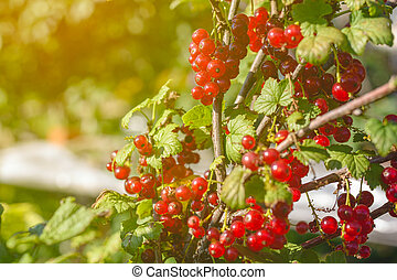red currant berries on a Bush branch close-up