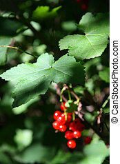 red currant berry in dark