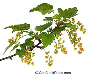 Red currant blooming