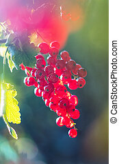 Red currant - Close-up view of red currant growing on bush