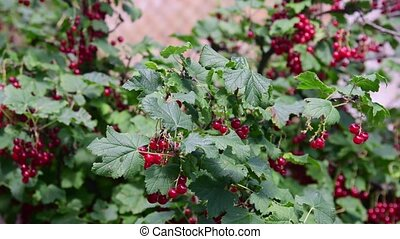 Red currant in the village garden. - Red currant in the...