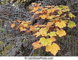 Red currant leaves in fall