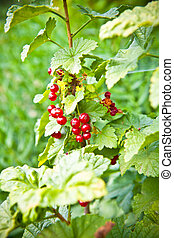Red currant on a bush