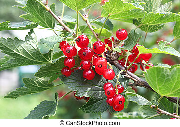 Red currant on bush
