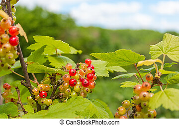 Red currant on the bush