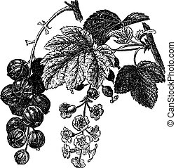 Red currant (Ribes rubrum) vintage engraving. Old engraved illustration of fresh red currants with leaves and flowers