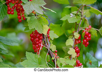 Red currant ripe berries on the bush