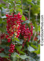 Red Currants against soft focus background