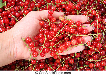 Harvest of red currants in the hand