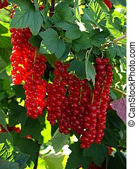 Red currants just before harvest