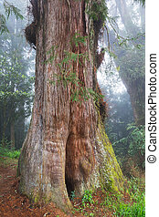 Red Cypress tree - Trunk of one of the oldest red cypress...