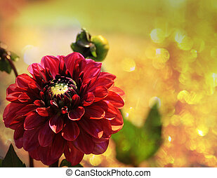 Red dahlia blosson in the sunlight - Beautiful red dahlia ...