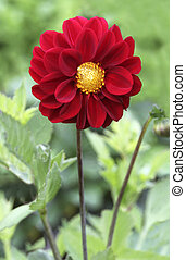 Red dahlia flower in bloom