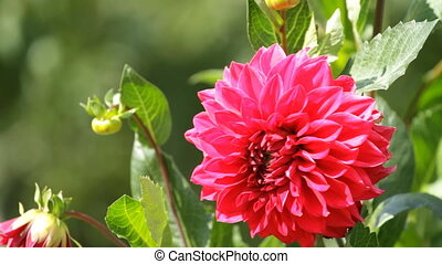 Red Dahlia - flower of red dahlia