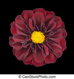 Red Dahlia Flower with Yellow Center Isolated