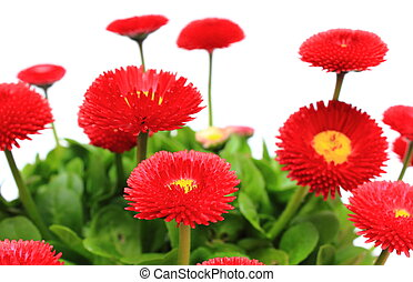 Red daisies on white background