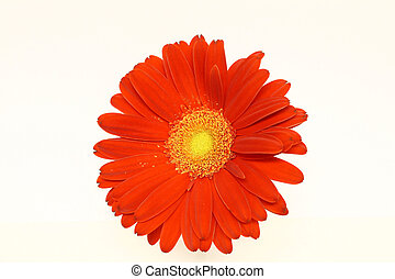 Red Daisy - A giant red gerbera daisy