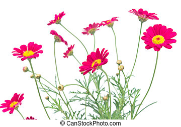 Red daisy flower isolated on white background
