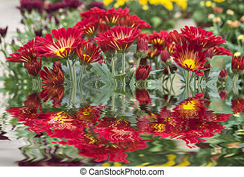 Red daisy-gerbera