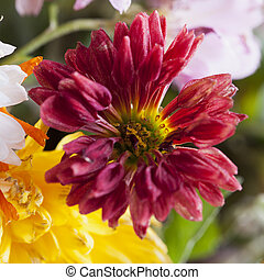 Red daisy in a bunch