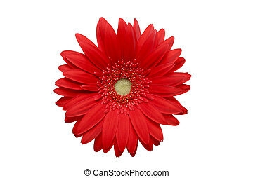 red daisy isolated macro with texture on petals