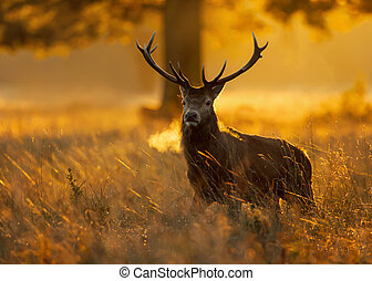 Red deer at sunrise during the rutting season