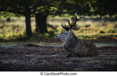 Red deer awakening