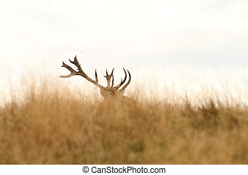 red deer big trophy - red deer ( Cervus elaphus ) big trophy...