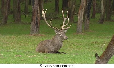 Red deer bull in rut, chasing hind - Red deer (cervus...