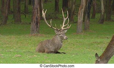 Red deer bull in rut, chasing hind
