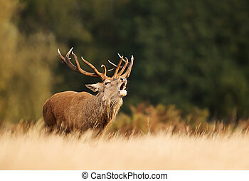 Red deer calling during rutting season in autumn