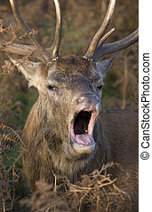 Red Deer calling - Red Deer male calling during rut