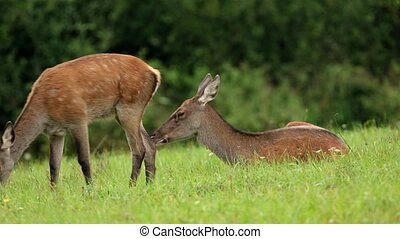 Red deer, cervus elaphus, hind and fawn grazing on a meadow....