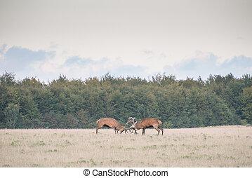 Red deer, Cervus elaphus in rutting season in Denmark