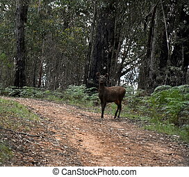 Red Deer (Cervus elaphus) in the forest (High Country, Victoria, Australia)