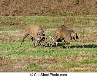 Red deer, Cervus elaphus, two males fighitng,...