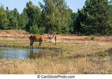 Red deer, Cervus elaphus