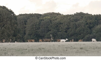 Red deer, Cervus elaphus roaring during the mating season in...