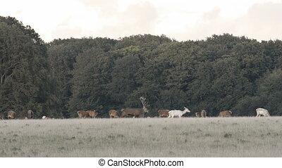 Red deer, Cervus elaphus roaring during the mating season in...