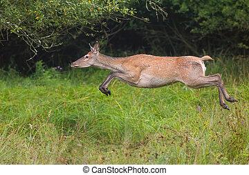 Red deer, cervus elaphus, runnig dynamically at high speed