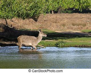 Red deer, Cervus elaphus, single female in water, London,...