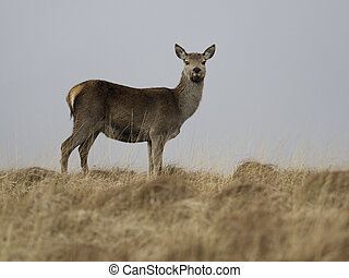 Red deer, Cervus elaphus, single female on moorland, Islay,...