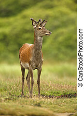 Red deer, Cervus elaphus, single young male in velvet,...