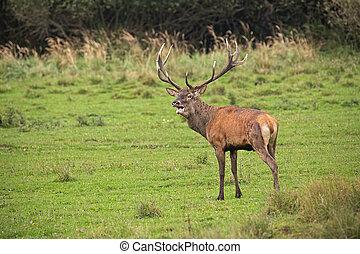 Red deer, cervus elaphus, stag in rut.