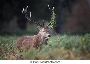 Red deer, Cervus elaphus, stag, Richmond, October 2009