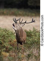Red deer, Cervus elaphus, stag roaring, Richmond, October...